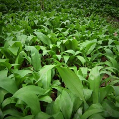 Wild Garlic On Mass Spring