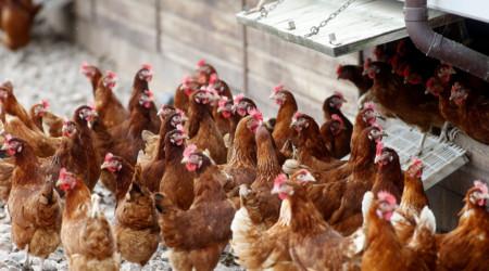 Hens 16 2